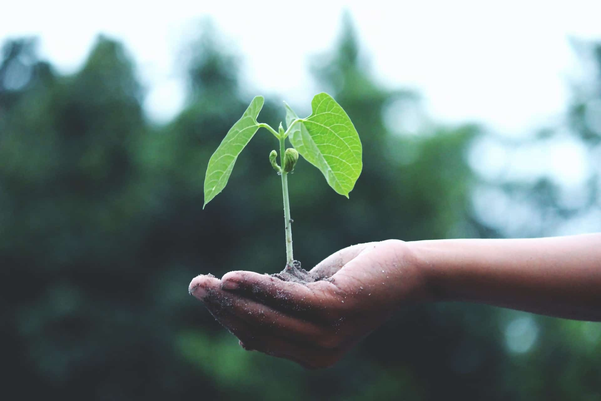 person's hand holding a small plant seedling with soil with trees in the background
