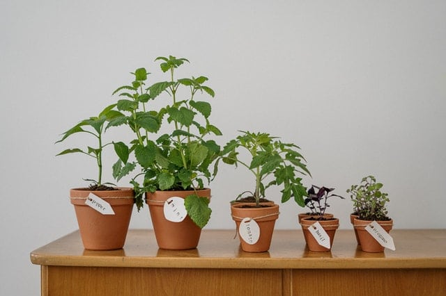 potted herbs lined up on a table inclusing pepper, mint, tomatoes, basil, oregano
