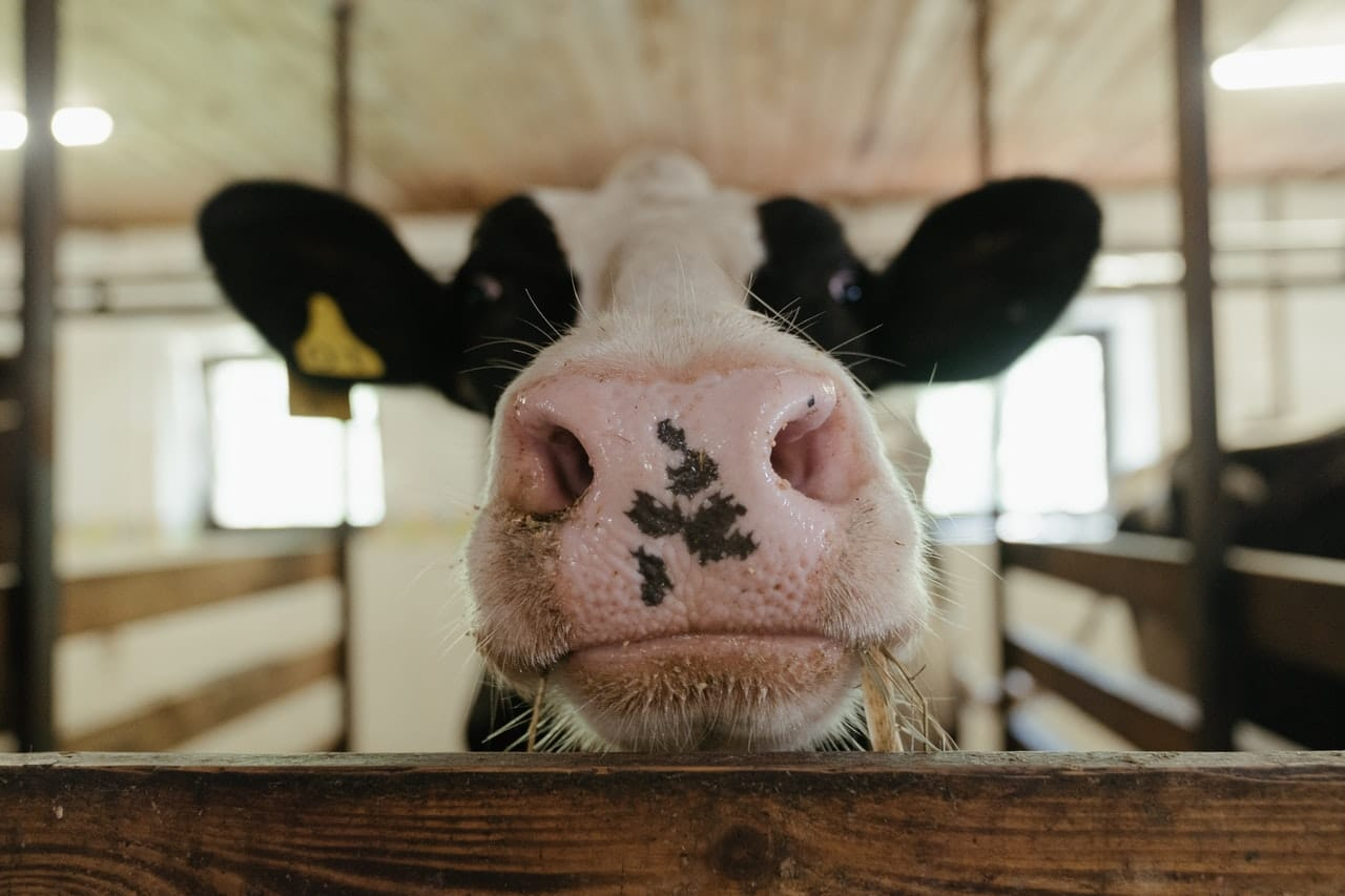 nose centered photo of a cow black and white speckled